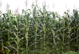 Terres, agriculture, Maïs