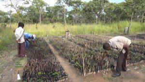 Pépinière, forêt de miombo